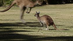 A kangaroo stands on a grassy area, while more kangaroos bound by.