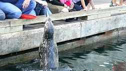 Kids enjoy spending time feeding the adorably cute sea lions in the ocean in Victoria, BC.