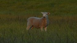 Lamb standing in a paddock turns and looks away.
