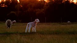 A young lamb standing in a field looking for it's mother, lit by the soft light of sunset.