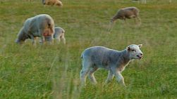 A young lamb running across a grassy field, to find it's mother and suckle some milk.