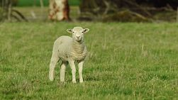 A cute young lamb standing in grassy pasture, looking at the camera.