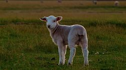 A young lamb standing in a field, turns around to look at the camera.