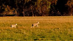 Young lambs walking in a field, lit by the golden light of sunset.