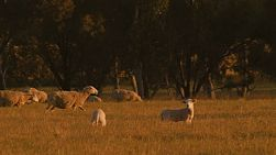 Young lambs in a grassy paddock, with their flock of sheep grazing in the background, lit by the golden light of sunset.