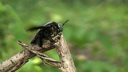 A large black bumble bee lands on a twig to rest before flying off again in Western Thailand.