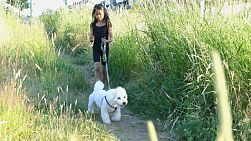 A cute 9 year old Asian girl walks her Bichon Frise dog through a grassy field on a beautiful summer evening.