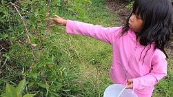 A cute little Asian girl intently picks fresh blueberries.