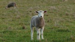A young wiltipoll lamb standing in a field, staring directly at the camera.
