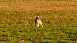 A young wiltipoll lamb standing alone in a field, looking around for it's mother.