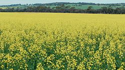 Looking across a flowering canola crop on a farm in Western Australia, with kangaroos jumping through the crop.