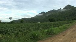 A motorcycle passes by a large cassava field on a dirt road in Western Thailand.