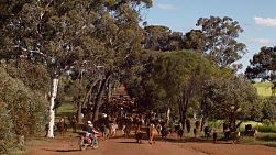 A farmer on a motorbike mustering a herd of cattle down a country road in Western Australia.