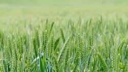 A field with a green wheat crop on an Australian farm.