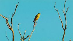 A parrot perched on dead branches of a tree, lit by the golden light of sunset.