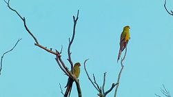 Two parrots perched on dead branches of a tree.