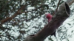 A pink and grey galah perched on a branch in a tree.