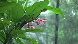 A pretty pink plumeria flower gets hammered in the monsoon downpour rains in Chantaburi, Thailand.