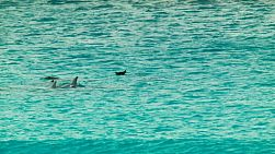 Pod of dolphins swimming in the ocean in Western Australia.