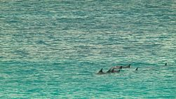 A pod of dolphins swimming nearby, in the ocean near Esperance, Western Australia.