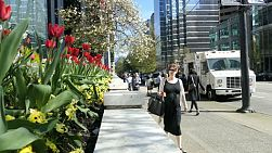 A pregnant lady enjoys strolling past spring tulips in gorgeous downtown Vancouver in March.