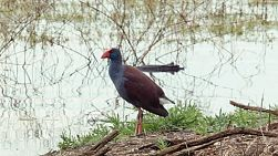 A purple swamp hen standing by the shore of a lake in Perth, Western Australia.