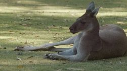 A kangaroo relaxing in the shade on a hot day.