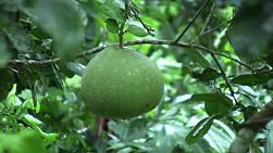 Ripe pomelo gently sways in the breeze in an orchard in Chantaburi, Thailand.