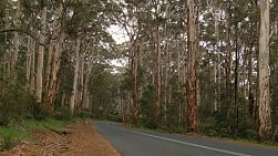 A road going through the middle of jarrah trees in the Boranup Forest in South Western Australia.