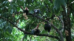 Roosters sit on branches of lamyai or longan fruit trees in an orchard in Chantaburi, Thailand.