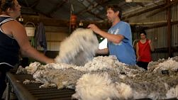 Rousabouts throwing a fleece and skirting freshly shorn wool, to remove the bad wool, during shearing on an Australian farm.