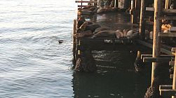 A group of sea lions greet the morning on the wharf in Santa Cruz by barking, swimming and hanging around.