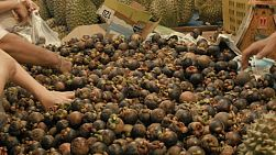 People choosing mangosteen to buy from a big pile at a fresh fruit market in Bangkok, Thailand.