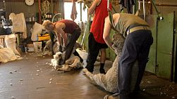 A shearer dragging out a sheep ready to shear in a shearing shed in Australia.