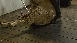 A shearer dragging a sheep in to be shorn.