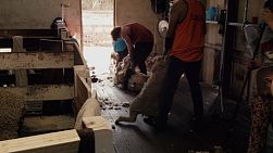 Tracking shot of a shearer dragging out a sheep ready to be shorn.