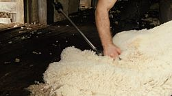 A shearer shearing a merino sheep on an Australia farm.