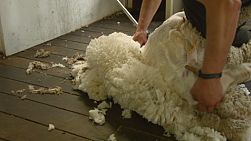 A shearer shearing along the back of a merino sheep on an Australian farm.
