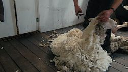 A shearer shearing along the back of a merino sheep on an Australia farm.
