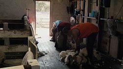 Tracking shot of a busy shearing shed, with a row of shearers shearing and rousabouts running back and forth.