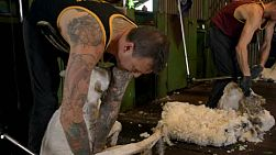 Shearers shearing merino sheep in the shearing shed of an Australian farm.