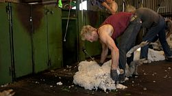 Tracking shot of shearers shearing merino sheep in the shearing shed of an Australian farm.