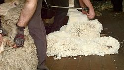 Shearers shearing merino sheep on a farm in Western Australia.