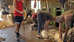 Shearers shearing the wool off merino sheep in the shearing shed on an Australian farm.