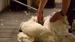 A sheep laying back as a shearer shears along it's back.