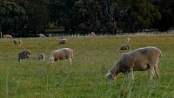 A flock of sheep and lambs grazing in a field on an Australian farm.