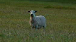 A sheep standing in a grassy field looking at the camera.
