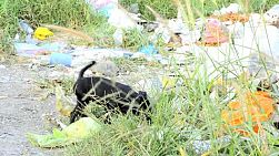 A stray puppy forages for food in a pile of trash, in Bangkok, Thailand.