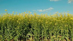Tall flowering canola crop in a field in Western Australia.