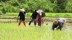 A group of Thai farmers plant rice together in Chiang Rai province.